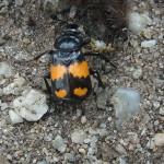 Aaskäfer (Carrion Beetles, Silphidae)