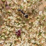 Ameisen (Ants, Formicidae)