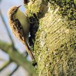 Baumläufer (Treecreepers, Certhiidae)