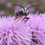 Bienen (Bees, Apiformes)