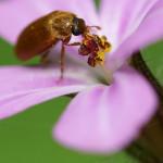 Blütenfresser (Fruitworms, Byturidae)