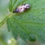 Blumenwanzen (Flower Bugs, Anthocoridae)