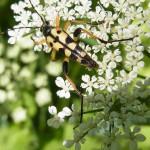 Bockkäfer (Longhorn Beetles, Cerambycidae)
