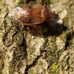 Bodenwanzen (Ground Bugs, Lygaeidae)