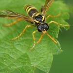 Echte Blattwespen (Sawflies, Tenthredinidae)