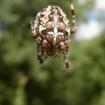 Echte Radnetzspinnen (Orb-weaver Spiders, Araneidae)