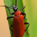 Feuerkäfer (Cardinal Beetles, Pyrochroidae)