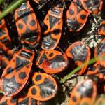 Feuerwanzen (Red Bugs, Pyrrhocoridae)