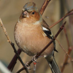 Finken (True Finches, Fringillidae)