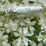 Gespinst- und Knospenmotten (Ermine Moths, Yponomeutidae)