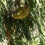 Goldhähnchen (Kinglets, Regulidae)