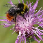 Hummeln (Bumblebees, Bombus/Psithyrus sp.)