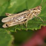 Kurzfühlerschrecken (Grashoppers, Caelifera)