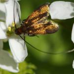 Langhornmotten (Fairy Longhorn Moths, Adelidae)
