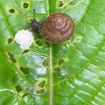 Laubschnecken (Hygromiidae)