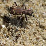 Laufkäfer (Ground Beetles, Carabidae)