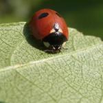 Marienkäfer (Ladybirds, Coccinellidae)