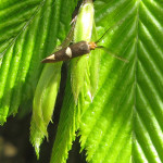 Miniersackmotten (Leaf Miners, Incurvariidae)