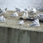 Möwen (Gulls, Laridae)