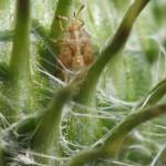 Netzwanzen (Lace Bugs, Tingidae)
