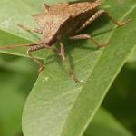 Randwanzen (Leaf-footed Bugs, Coreidae)