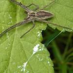 Raubspinnen (Nursery Web Spiders, Pisauridae)