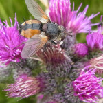 Raupenfliegen (Tachinids, Tachinidae)