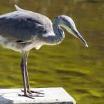 Reiher (Herons, Ardeidae)