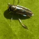 Ruderwanzen (Corixidae)