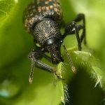Rüsselkäfer (Weevils, Curculionidae)