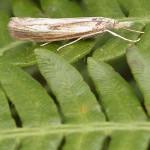 Rüsselzünsler (Grass Moths, Crambidae)