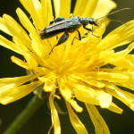 Scheinbockkäfer (False Blister Beetles, Oedemeridae)