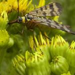 Schnabelfliegen (Scorpionflies, Mecoptera)