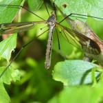 Schnaken und Stelzmücken (Crane Flies, Tipulidae und Limoniidae)