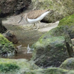 Schnepfenvögel (Sandpipers, Scolopacidae)