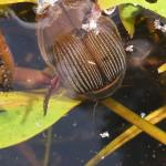 Schwimmkäfer (Diving Beetles, Dytiscidae)