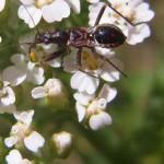 Sichelwanzen (Damsel Bugs, Nabidae)