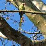 Eigentliche Papageien (True Parrots, Psittacidae)