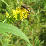 Sonstige Hautflügler (Other Hymenopterans)