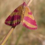 Spanner (Geometer Moths, Geometridae) 1