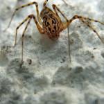Speispinnen (Spitting Spiders, Scytodidae)