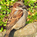 Sperlinge (Sparrows, Passeridae)