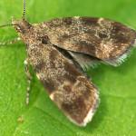 Spreizflügelfalter (Metalmark Moths, Choreutidae)