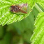 Stachelwanzen (Shieldbugs, Acanthosomatidae)