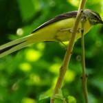 Stelzen und Pieper (Motacillidae)
