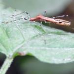 Stelzenwanzen (Stilt Bugs, Berytidae)