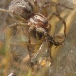 Trichterspinnen (Funnel Weavers, Agelenidae)
