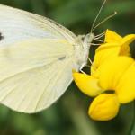 Weißlinge (Whites, Pieridae)