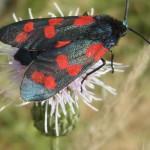 Widderchen (Zygaenid Moths, Zygaenidae)