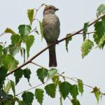 Würger (Shrikes, Laniidae)